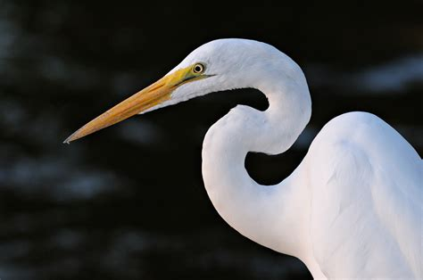 great white egret photography  flight fishing  playing