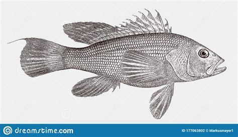 bass sea atlantic venomous grouper marine western ocean side striata vector
