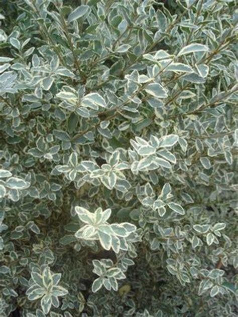 ligustrum sinense variegatum ligustrum varigated privit