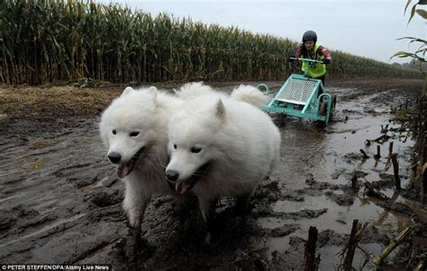 Pooches Pull Their Owners Around In Annual North German