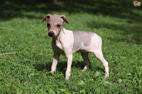 dog breeds that don t shed much