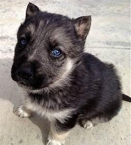 My new puppy that I got last night! He's a German Shepard ...