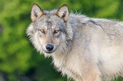 meet  rare swimming wolves  eat seafood