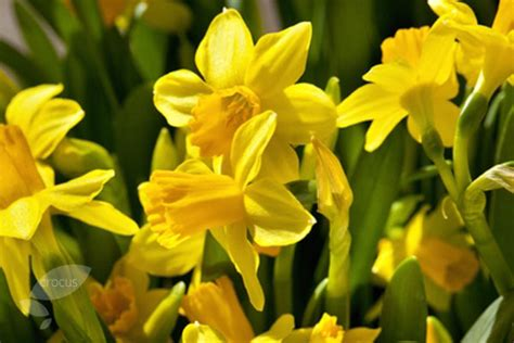 buy miscellaneous daffodil bulbs narcissus tete a tete