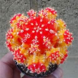 Red Moon Cactus