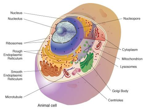 The Cell Biology 18 Best Images About School Projects On Pinterest Models