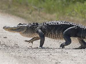 The Difference Between An Alligator And A Crocodile