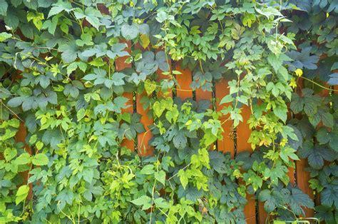 Sichtschutz Garten Wenig Platz by Wilder Wein Am Zaun 187 Eine Gute Idee