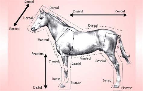 anatomy animal anatomy horses animals vet med