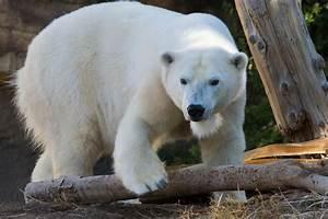 Hairless Polar Bear