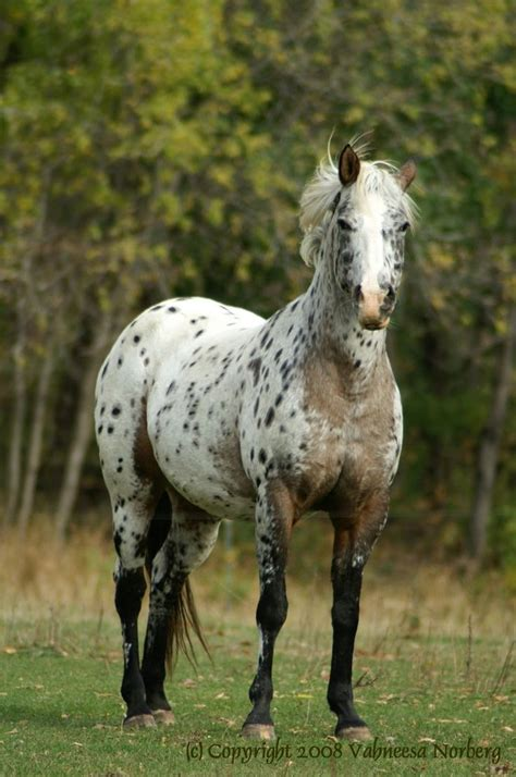 Appaloosa Horse The Black Dogs Photographer Horses