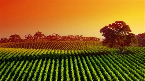 vineyard  wine wallpaper wallpapersafari