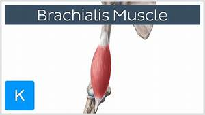 Brachialis Muscle Anatomy Overview