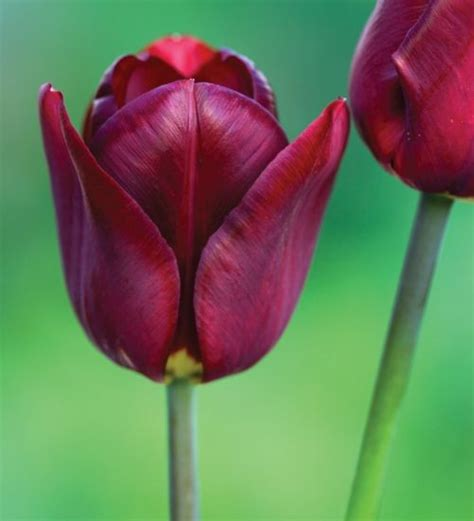305 best images about tulip my garding collection on