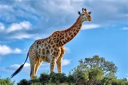 Giraffe Pc