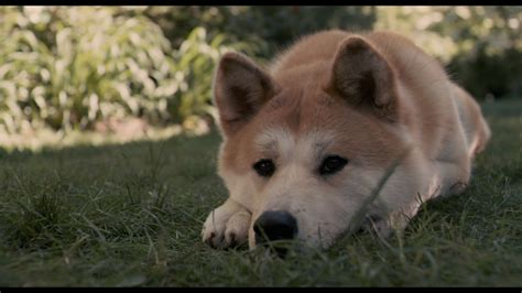 hachi  dog  tale wallpapers