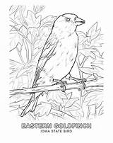 Goldfinch Coloring Birds Animals Sheet sketch template