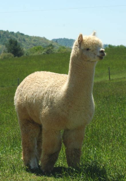 Introducing 10 Of The World's Fluffiest Animals Alpacas