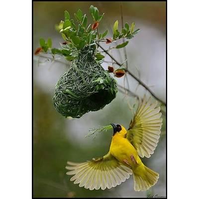 Southern Masked Weaver BirdInspirationPinterest