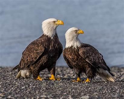 Bald Eagle Eagles Facts Flickr Female Male