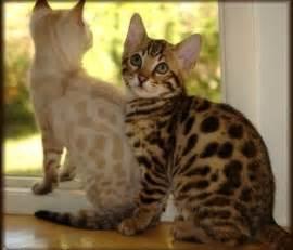 hypoallergenic cat breeds bengal kittens hypoallergenic cat breed animals