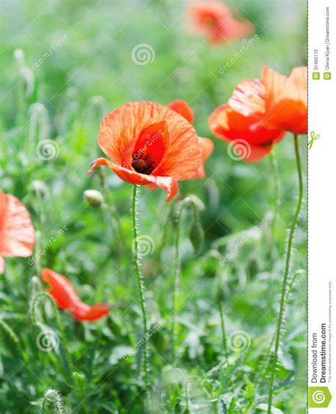 poppy bloom time poppy blooming stock photo image 31465170