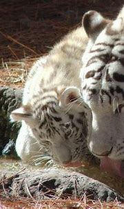 Life Cycle - White Tiger