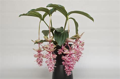 kamerplant met rose bloemen medinilla ton hannink