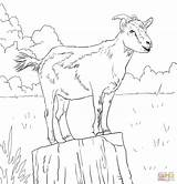 Coloring Goat Goats Realistic Drawing Boer Printable Ibex Alpine Domestic Mountain Animal Colouring Animals Adult Supercoloring Stencil Template Drawings Sheet sketch template