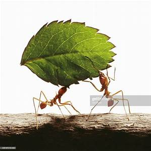 Two Leafcutter Ants Carrying Leaf Closeup Stock Photo