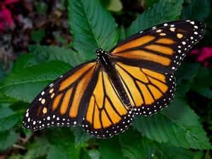 Schmetterling Danaus plexippus mit geöffneter
