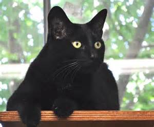 haired black cat paws awws the black cat myth the smart living network
