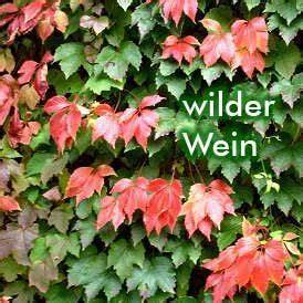 Wilder Wein Balkon : sichtschutz mit kletterpflanzen aber mit welchen ~ Eleganceandgraceweddings.com Haus und Dekorationen