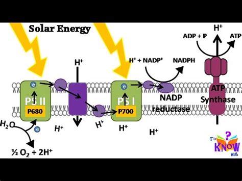 biology photosynthesis light reaction  atp nadph