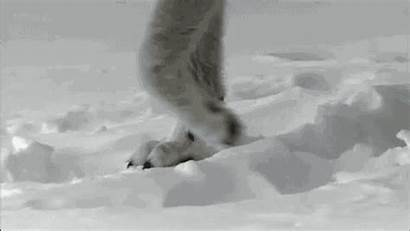 Wolf Walking Giphy Gifs