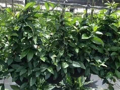 hoya plant care instructions metropolitan wholesale