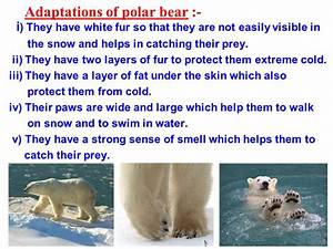 Adaptations Of A Polar Bear - The Best Bear Of 2018