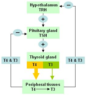 thyroid hormone synthesis pathway hypothalamic pituitary