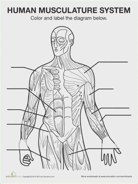 Muscular System Worksheet Winonarasheedcom