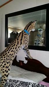 Serval a mediumsized African wildcat Big Cats and