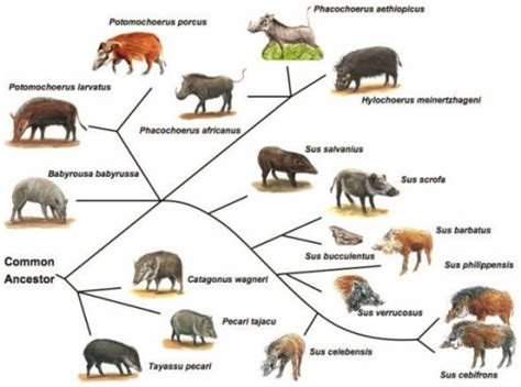 Suiforme Diversity And Phylogenetic Relationship. Sourc
