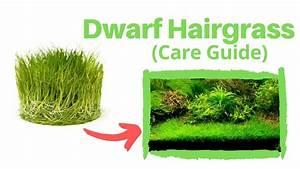Dwarf Hairgrass  Care Guide