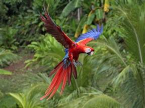scarlet macaw latest facts all wildlife photographs