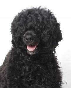 Baby Portuguese Water Dog