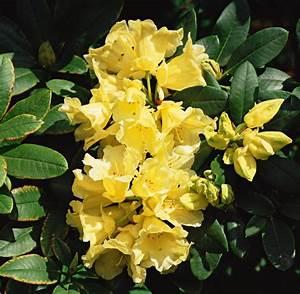 Rhododendron Blüht Nicht : rhododendron pflegen gewusst wie welt ~ Frokenaadalensverden.com Haus und Dekorationen