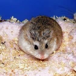 Laisser Un Chien Seul Quand On Travaille : laisser son hamster seul pendant les vacances vivre avec un hamster ~ Medecine-chirurgie-esthetiques.com Avis de Voitures
