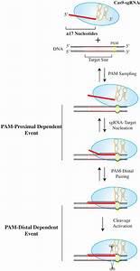 Model Illustrating Target Sequence Dependency For Cas9