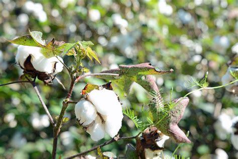 cotton planters bombast wiktionary