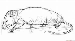 How To Draw A Virginia Opossum Step By Step Drawing
