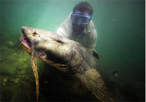 national geographic monster fish swimming   tennessee